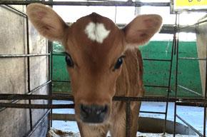 牛の赤ちゃんたち♪