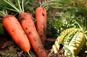 にんじん掘り、冬野菜摘み始まりました
