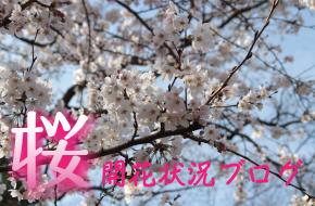 さくら開花状況サイト