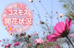 コスモス開花状況