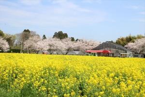 菜の花畑_4_R