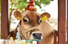 乳搾り担当「りかこちゃん」誕生日!