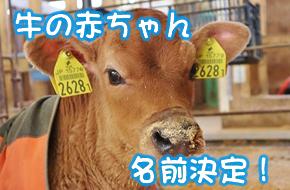 牛の赤ちゃん名前決定!